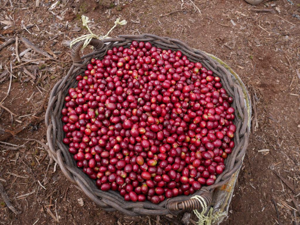 Freshly harvested ripe cherries