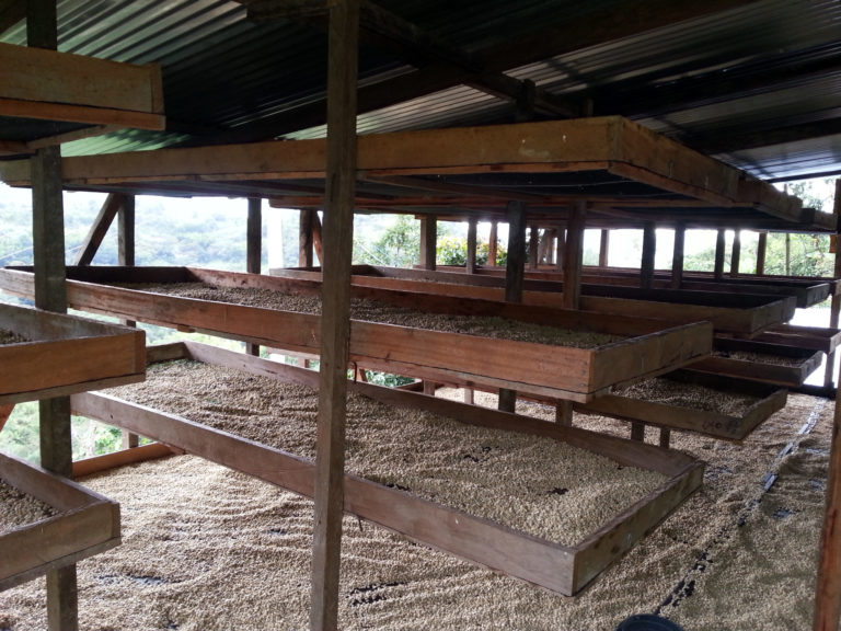 Coffee_Drying_on_shelves