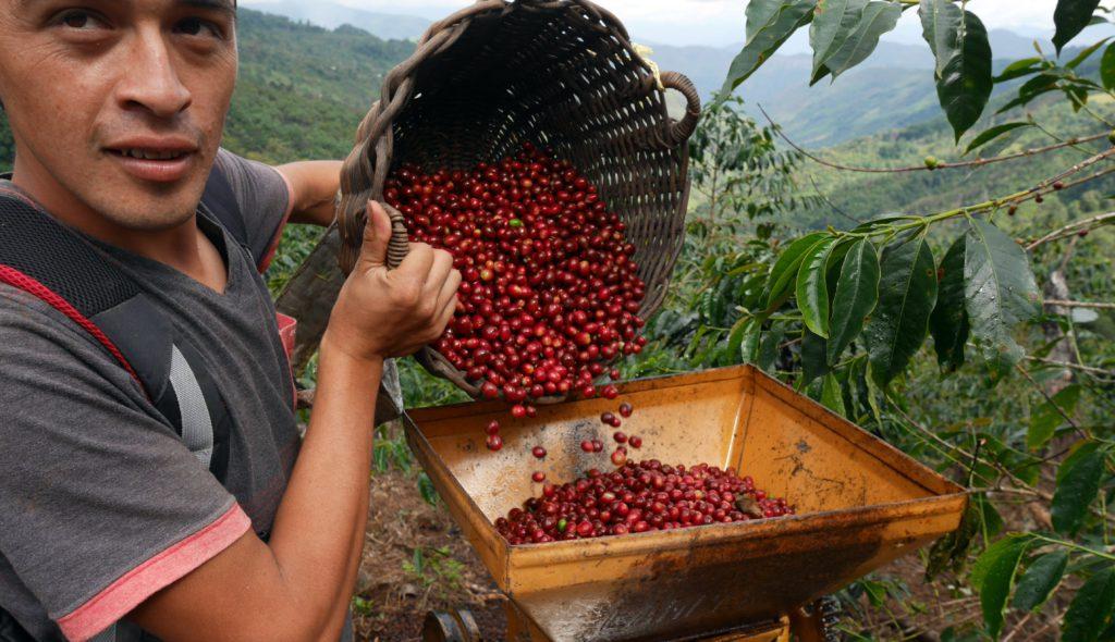Pouring coffee cherries through a pulper