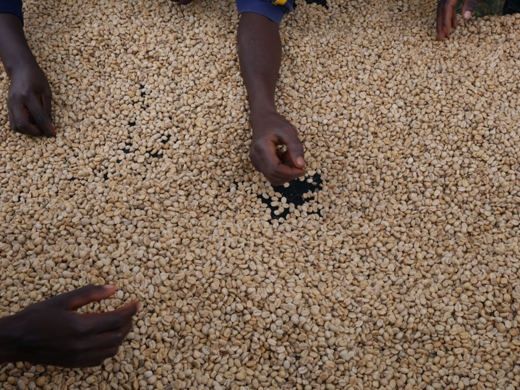 Parchment Coffee Drying Kenya Gitare