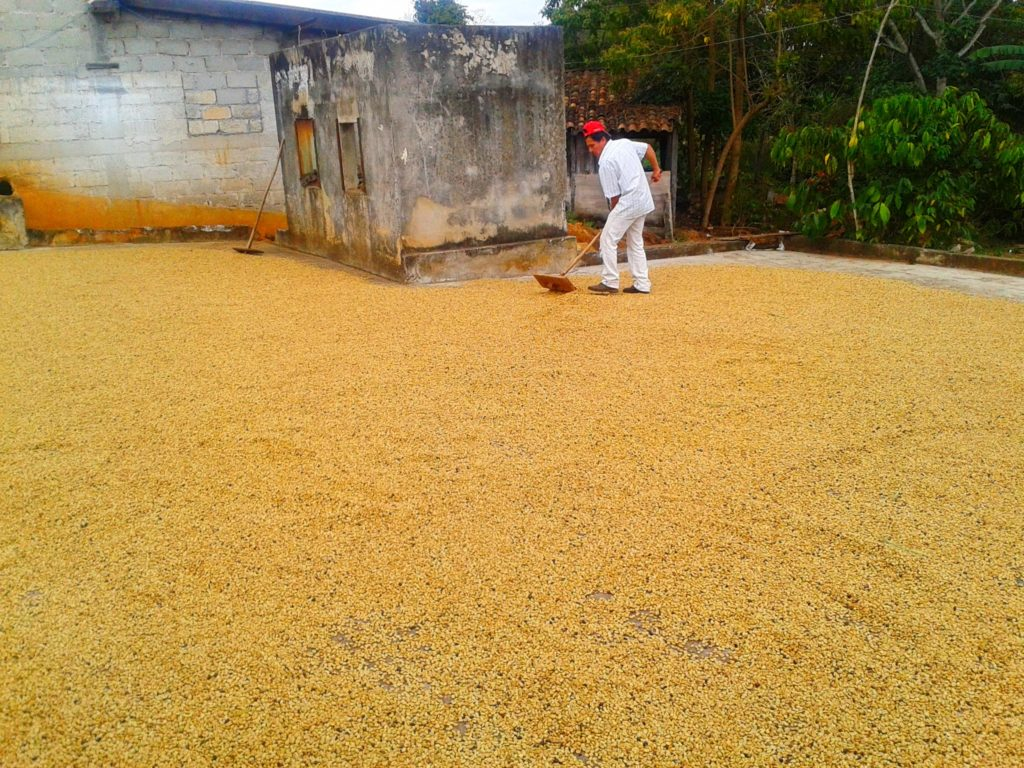 Typica drying on patio