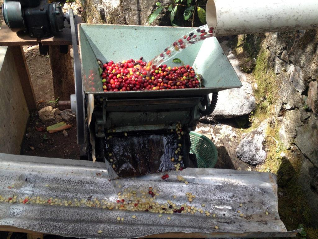 Mexico Sierra Azul - Pulping coffee
