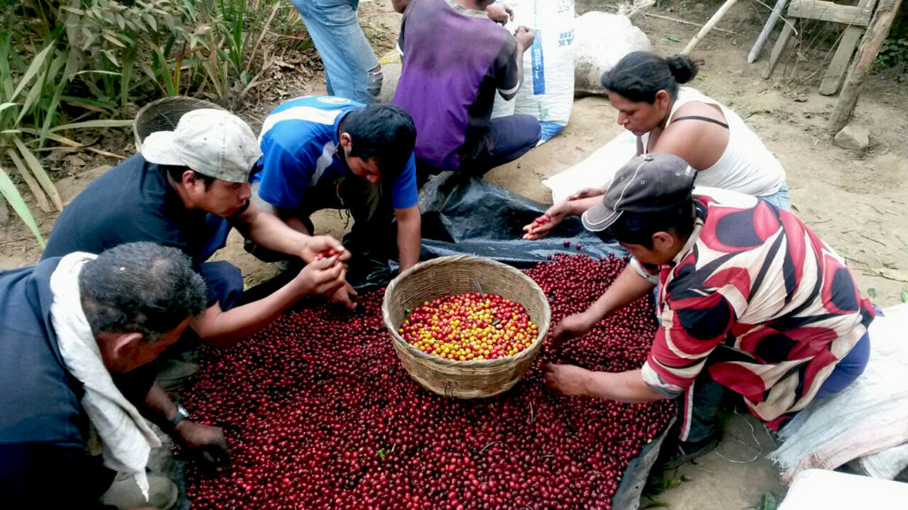 El Salvador Finca El Aguila post harvest sorting