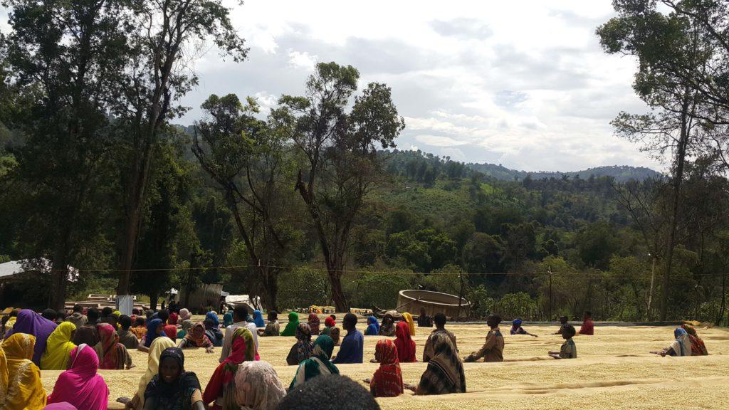 Ethiopia Yirgacheffe Coffee sorting